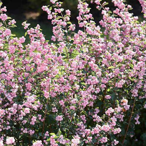 Snowberry Symphoricarpos Magical Sweet