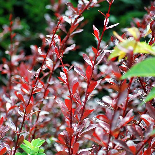 Japanese Barberry, Berberis Collection
