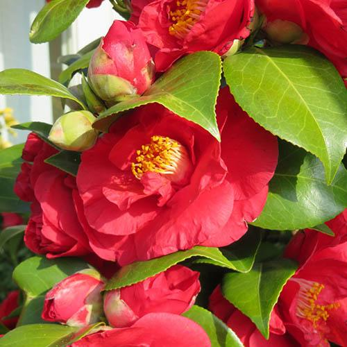 Camellia japonica Collection