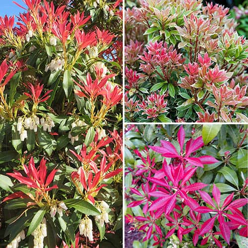 Pieris Collection