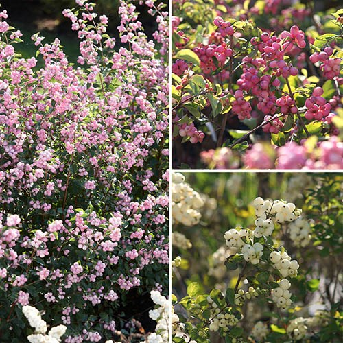 Snowberry Symphoricarpos Magical Collection