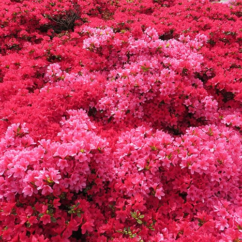 Rhododendrons (Japanese Azalea) Collection