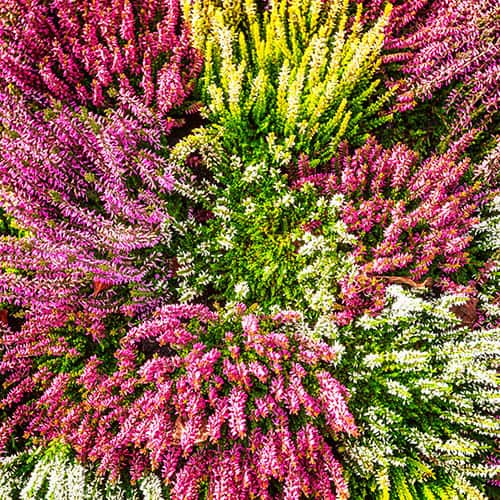 Pack of 6 Mixed Autumn Heathers in 10.5cm Pots