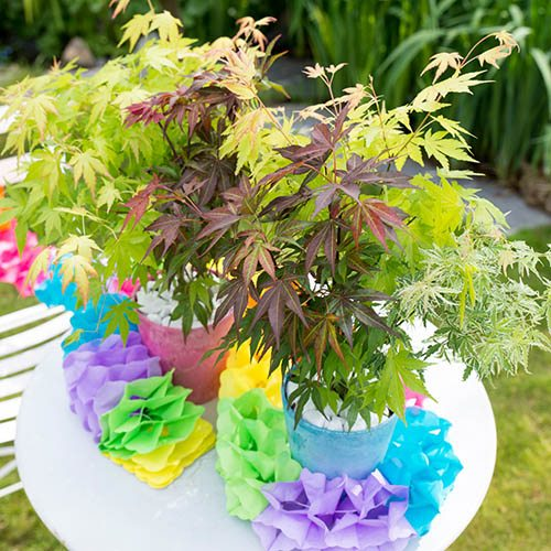 Japanese Acer palmatum Festival Mix