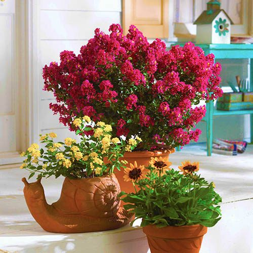 Patio Red Crepe Myrtle Lagerstroemia