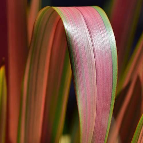 New Zealand Flax Phormium Evening Glow