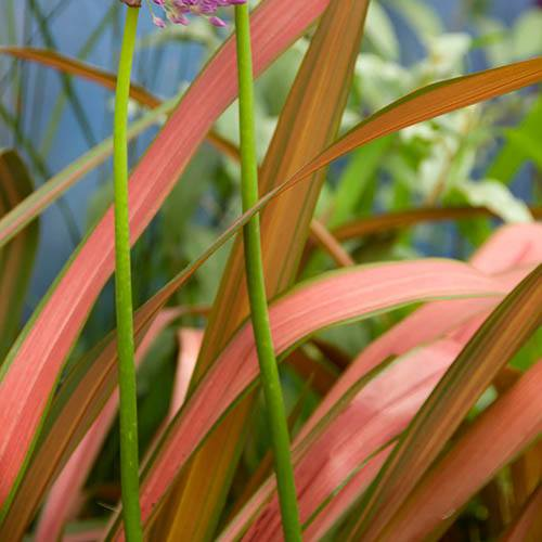 New Zealand Flax Phormium Jester