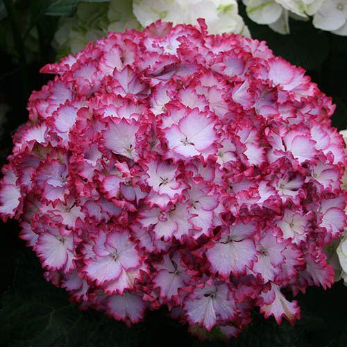 Hydrangea macrophylla Colour Dream