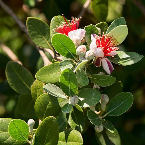 Feijoa sellowiana Pineapple Guava  Coolidge
