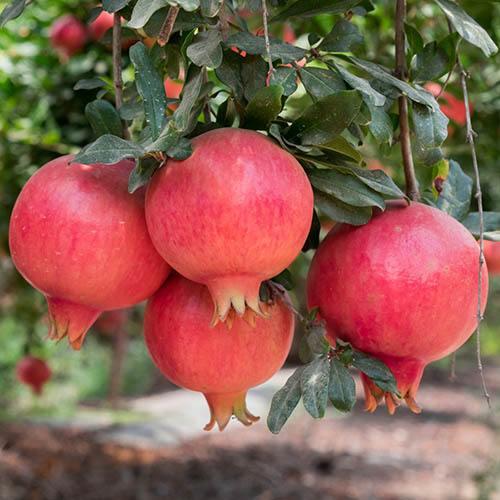 Pomegrante Punica granatum Mollar de Elche