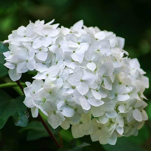 Mophead Hydrangea macrophylla Madame Emile Mouillere
