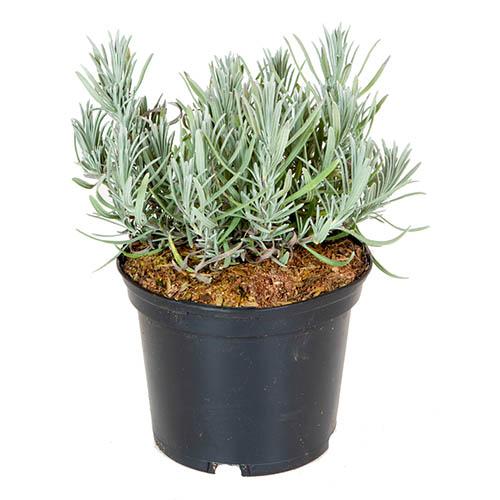 Lavender Lavandula intermedia Grosso