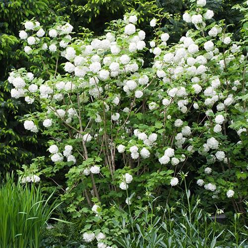 Snowball Tree Viburnum opulus Roseum