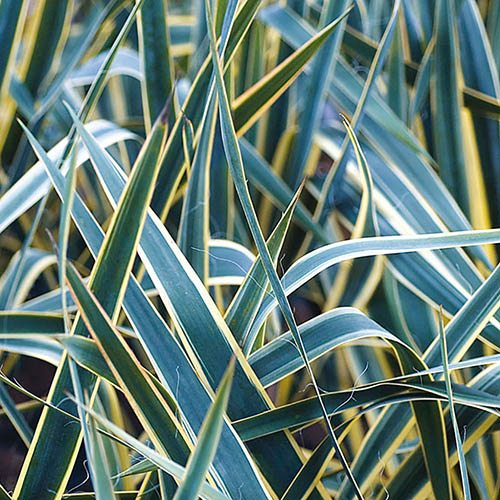 Needle Palm Yucca filamentosa Bright Edge