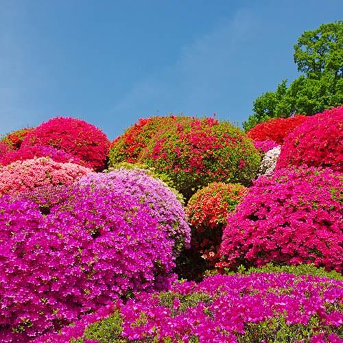 Evergreen Azalea Pink 3L pot