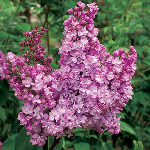 French Lilac Syringa vulgaris 'Paul Deschanel'