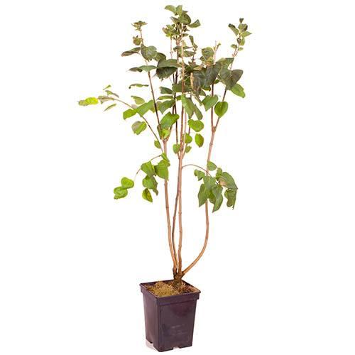 French Lilac Syringa vulgaris 'Paul Deschanel'