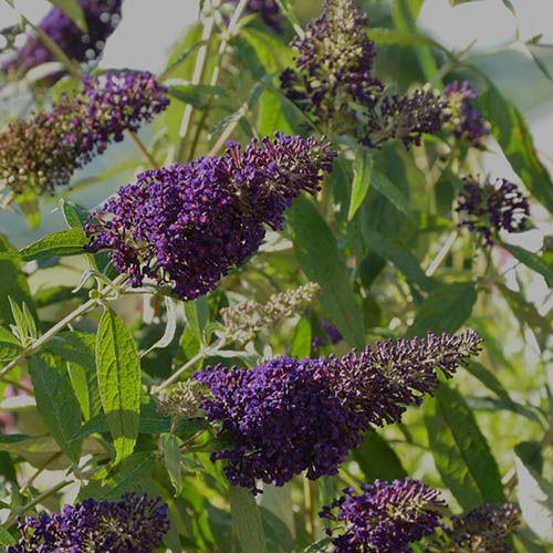 Butterfly Bush Buddleia Buzz Violet