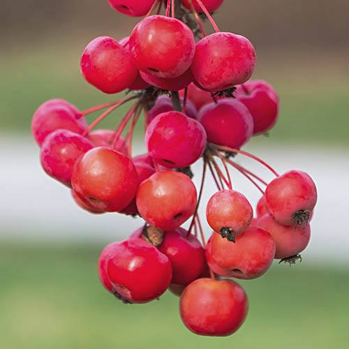 Crab Apple Red Sentinel Standard
