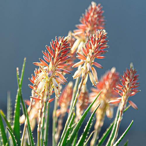 Aloe Safari Sunrise (R)