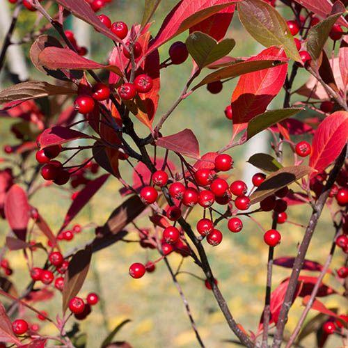 Aronia arbutifolia Brillant