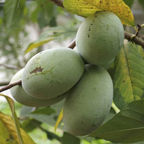 Pawpaw Fruit Tree Asimina triloba
