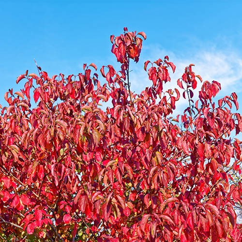 Bloodtwig Dogwood Cornus sanguinea Annys Winter Orange
