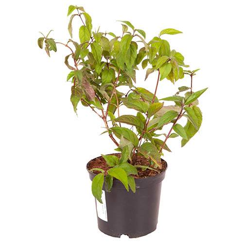 Deutzia hybrida Rasberry Sundae