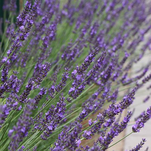 Lavender Lavandula intermedia Phenomenal