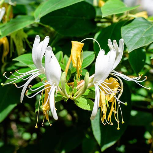 Honeysuckle Lonicera Honey Baby