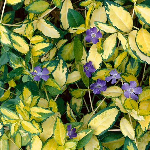 Lesser Periwinkle Vinca minor Illumination