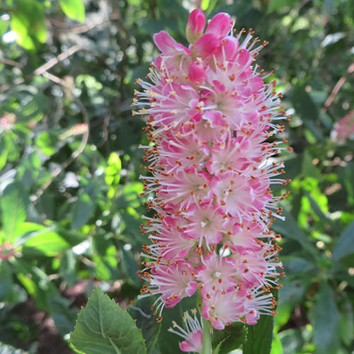 Clethra alnif. Ruby Spice