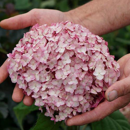 Sevenbark Hydrangea arborescens Candybelle Bubblegum