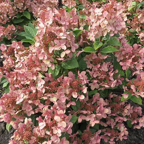 Hydrangea paniculata Polestar (R)