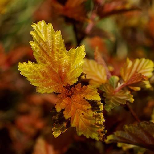 Physocarpus opulifolius Little Angel Ninebark