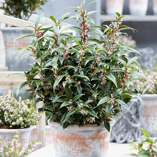 Pair of Sarcococca