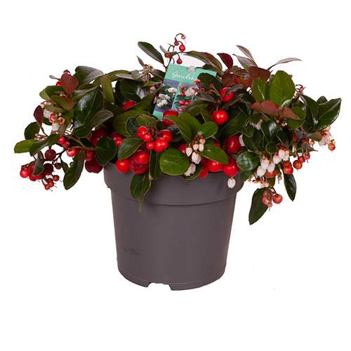 Gaultheria Big Berry