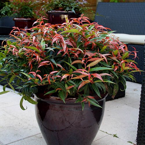 Leucothoe Burning Love 2L