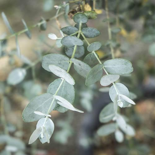 Eucalyptus gunni Bush