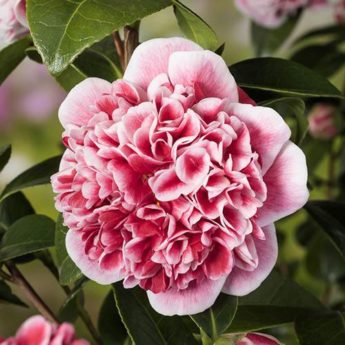 Camellia japonica Volunteer