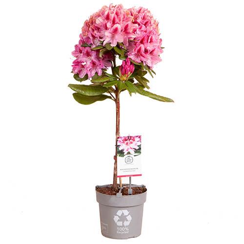 Rhododendron Cosmopolitan (Pink)