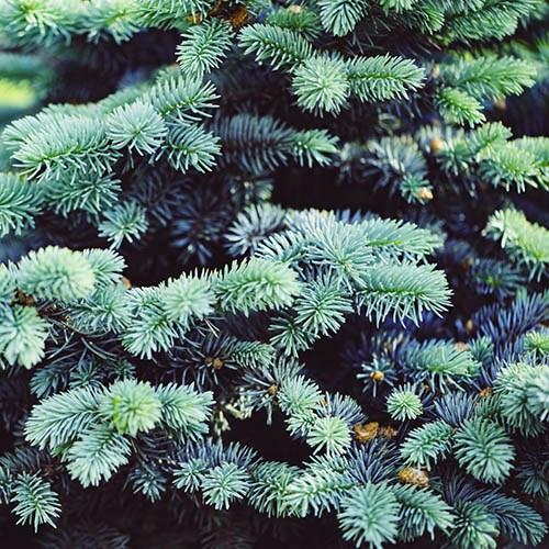 Picea pungens Super Blue