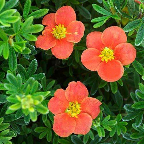 Potentilla fruticosa Double Punch RedIssima