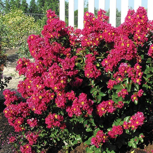 Crepe Myrtle Lagerstroemia Rouge