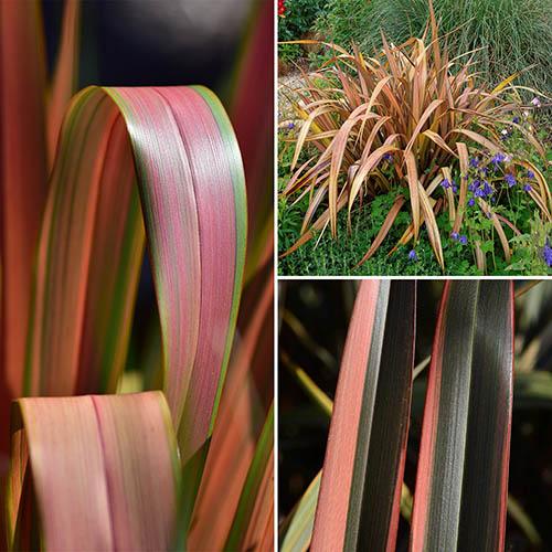 New Zealant Flax Phormium Collection