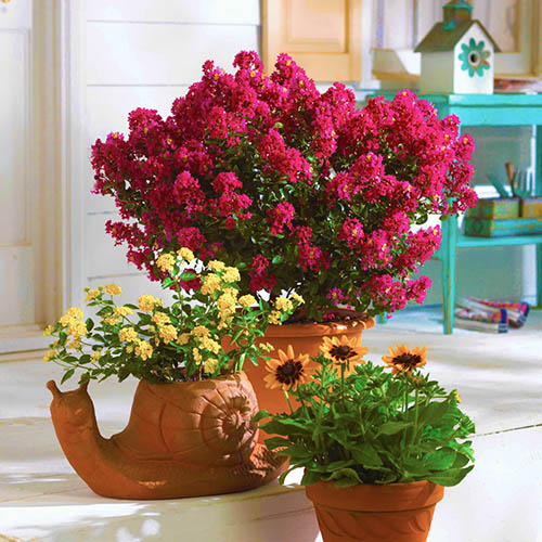 Lagerstroemia Collection 3 x 9cm
