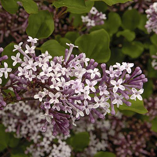 Lilac Syringa Palibin Standard