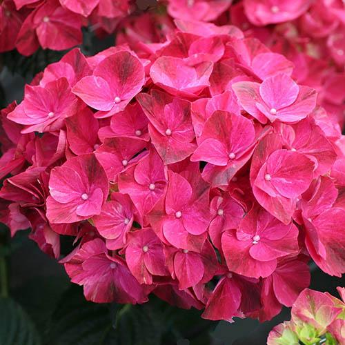 Hydrangea Magical Pink Ruby