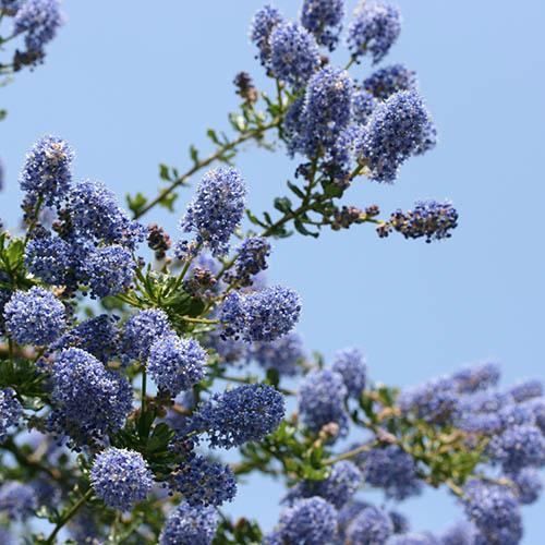 Californian Lilac Italian Skies