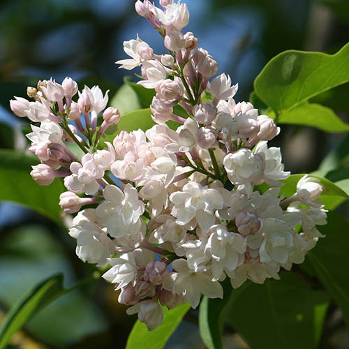 Syringa vulgaris 'Beauty of Moscow 9cm
